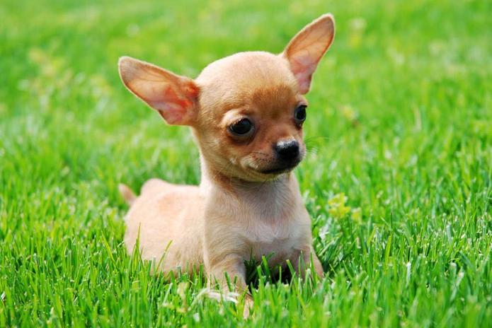 Diferencias Entre un Perro de Raza y Uno Normal